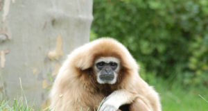 gibbon, ancient primates