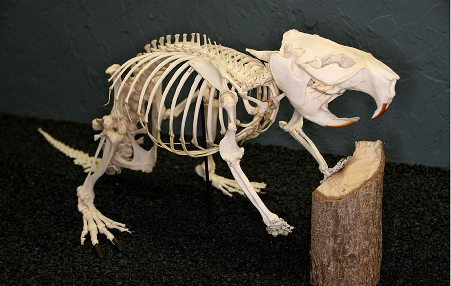 "Leave it to beaver: ""Rodent"" survives dinosaur doomsday"