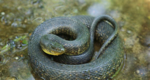 green watersnake