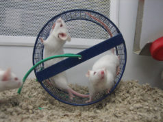 The old mice seemed to undergo rejuvenation after transfusions of blood from human teenagers.